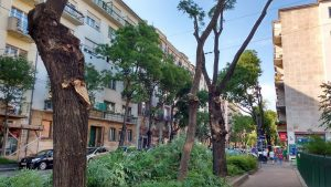 Csonkolt fák a Pozsonyi úton